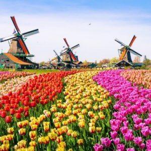 Tulpenblüte in Holland